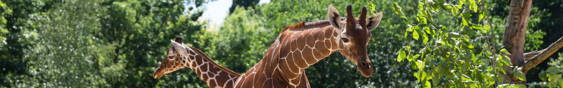 Experience - Giraffe