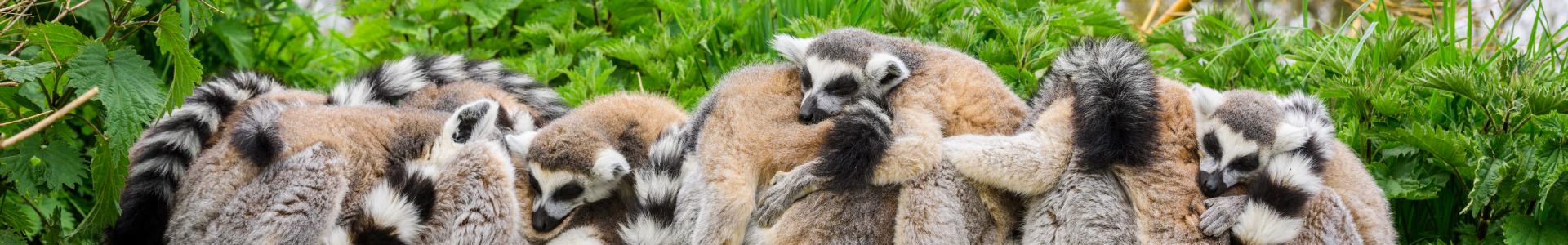 The Camp - Ring-tailed Lemurs