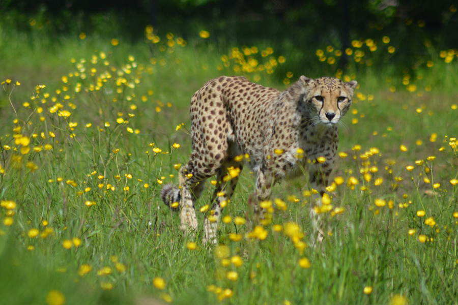 Home 10 – Cheetah