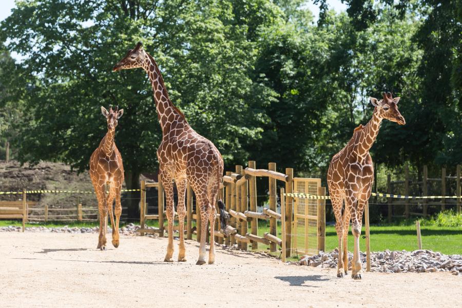 Home 7 – Giraffe