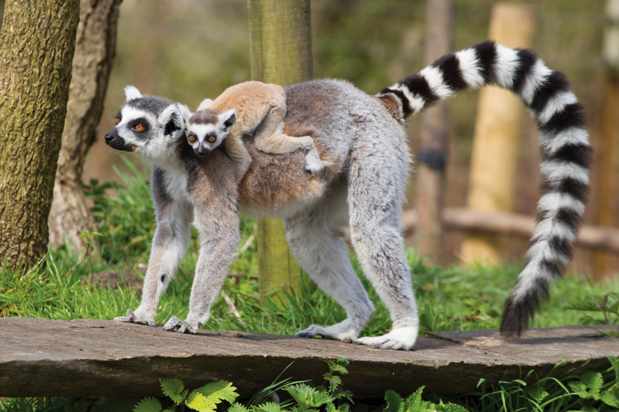 Home 2 – Ring-tailed lemur
