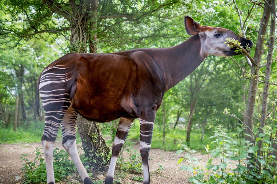 Home 12 – Okapi